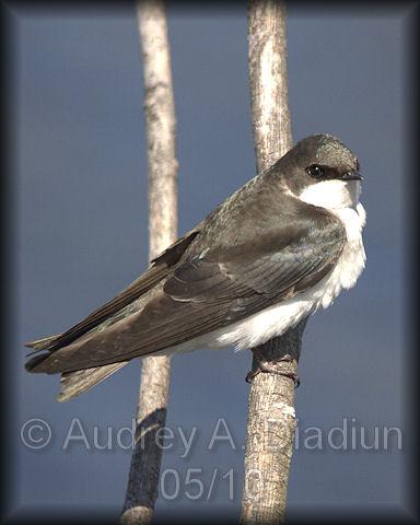 Aad-TreeSwallow-5-9-10-2627