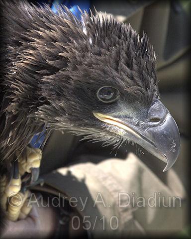 Aad-EagleBanding-16