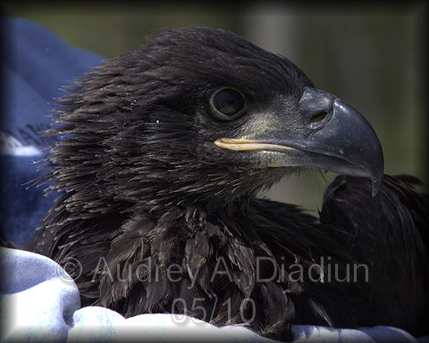 Aad-EagleBanding-21