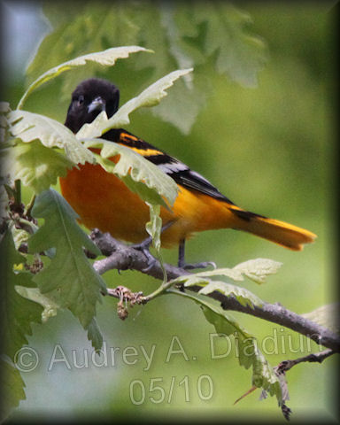 Aad-BaltimoreOriole-male-5-14-10-3242
