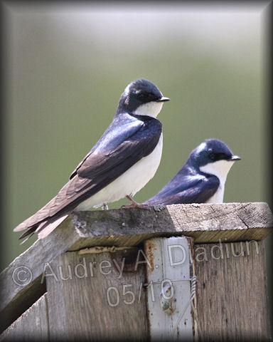 Aad-TreeSwallow-5-14-10-3214