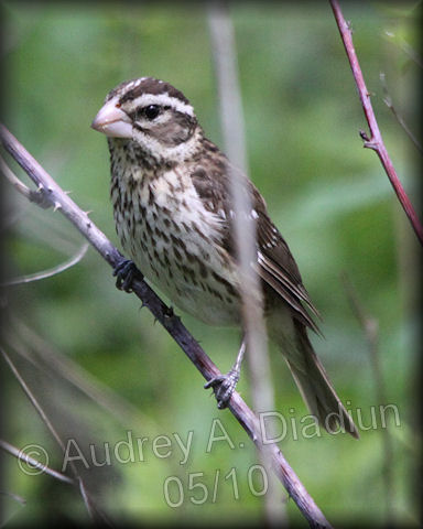 Aad-Rose-BreastedGrosbeak-female-5-14-10-3235