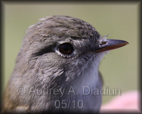 Aad-LeastFlycatcher-5-15-10-3421