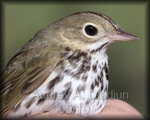 Aad-Ovenbird-5-15-10-3380