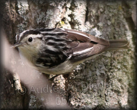 Aad-Black-n-WhiteWarbler-5-16-10-4015