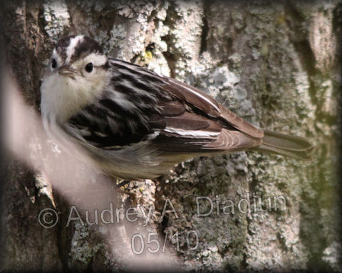 Aad-Black-n-WhiteWarbler-5-16-10-4017
