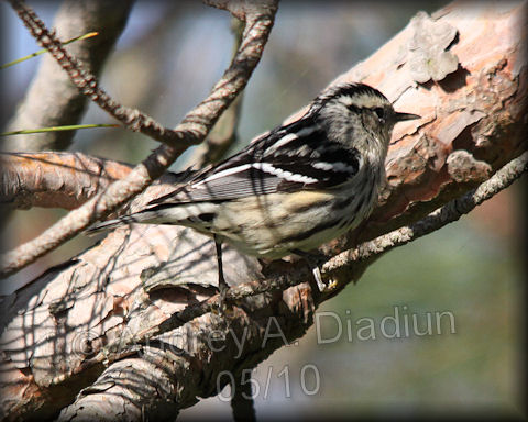 Aad-Black-n-WhiteWarbler-5-16-10-4072
