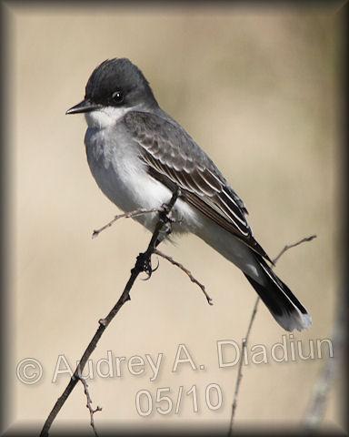 Aad-EasternKingbird-5-16-10-4060