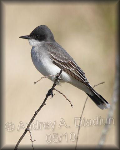 Aad-EasternKingbird-5-16-10-4065