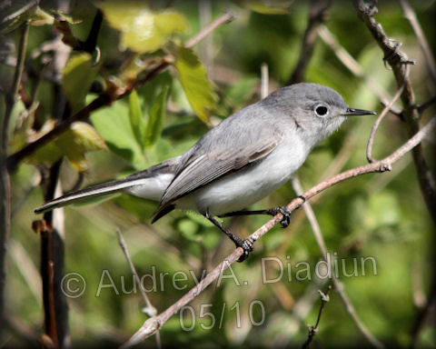 Aad-Blue-GrayGnatcatcher-5-16-10-4053