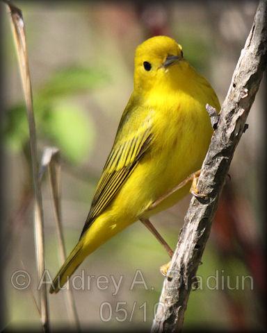 Aad-YellowWarbler-6-16-10-3974