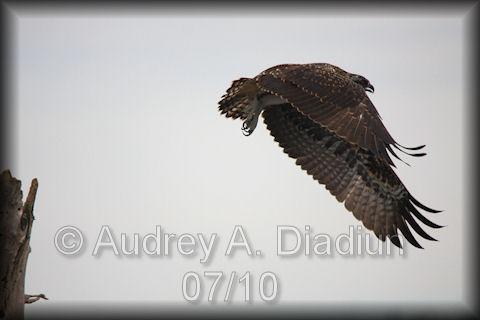 Aad-Osprey-7-22-10-3043