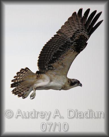 Aad-Osprey-7-22-10-3044