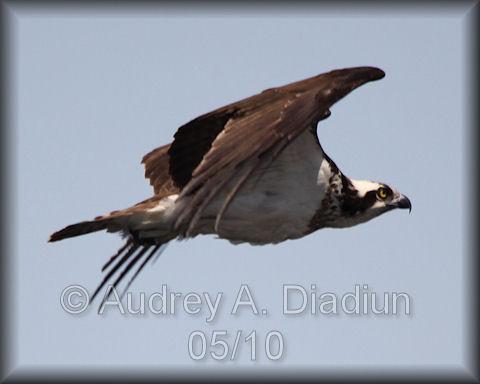 Aad-Osprey-5-16-10-3711