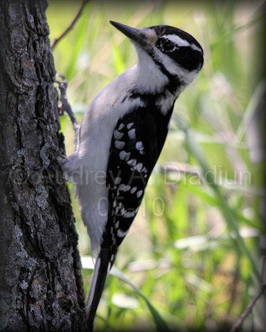 Aad-HairyWoodpecker-5-20-10-4686