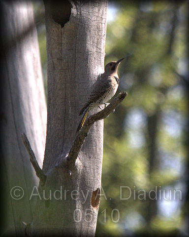 Aad-NorthernFlicker-5-23-10-4738