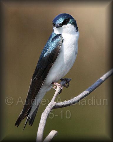 Aad-TreeSwallow-5-27-10-5494
