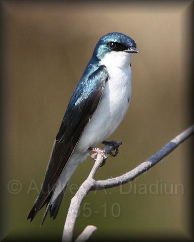 Aad-TreeSwallow-5-27-10-5496