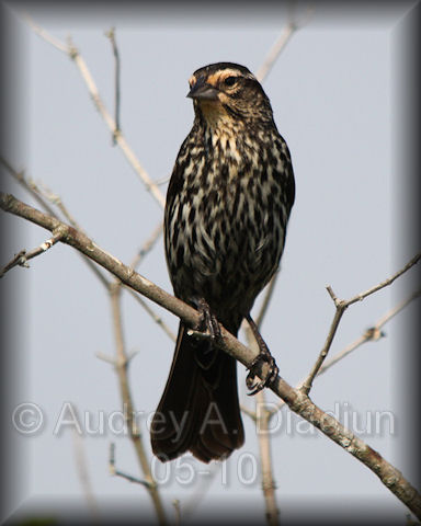 Aad-RedWingedBlackbird-5-27-10-5453