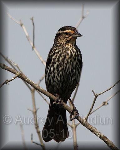 Aad-RedWingedBlackbird-5-27-10-5454