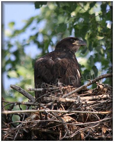 Aad-BaldEagle-eaglet-5-27-10-5013