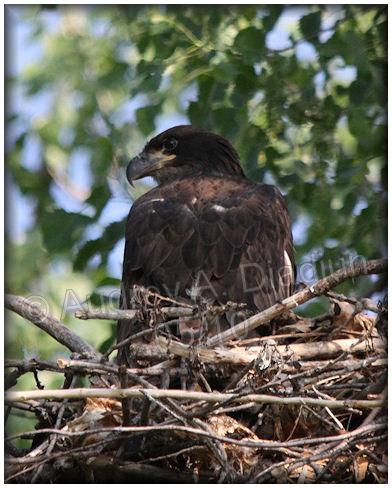 Aad-BaldEagle-eaglet-5-27-10-5045