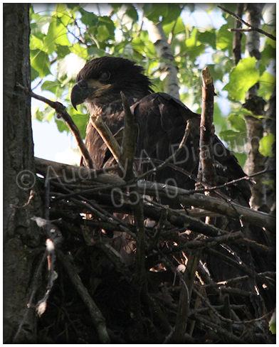 Aad-BaldEagle-eaglet-5-27-10-5061