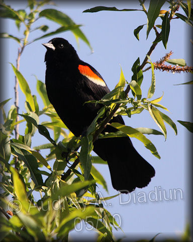 Aad-Red-WingedBlackbird-Male-5-30-10-5633