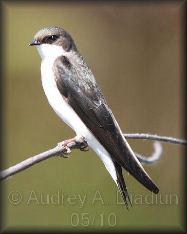 Aad-TreeSwallow-5-30-10-5803