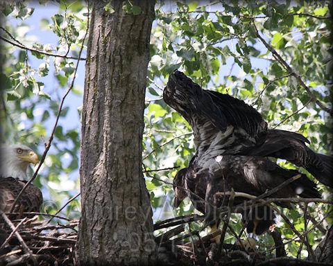 Aad-BaldEagle-female-eaglet-5-30-10-5847