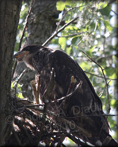 Aad-BaldEagle-eaglet-5-30-10-5876