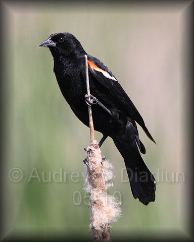 Aad-RedWingedBlackbird-5-27-10-5589