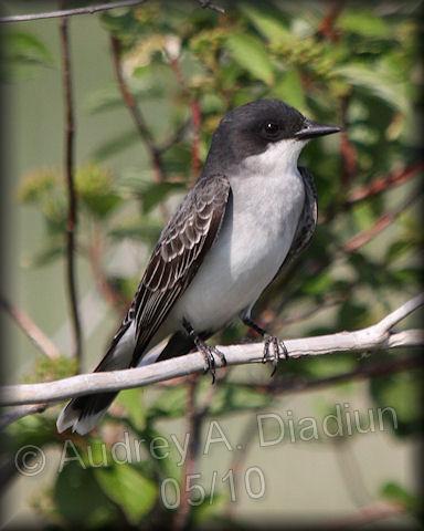 Aad-EasternKingbird-5-27-10-5456