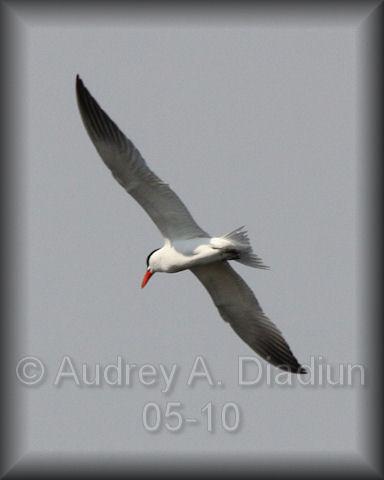 Aad-CaspianTern-5-27-10-5466