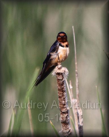 Aad-barnswallow-5-27-10-5442