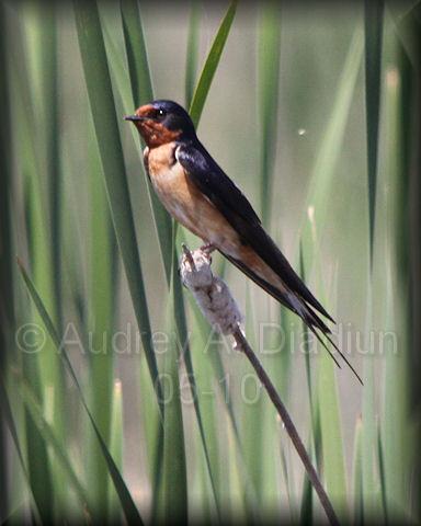 Aad-BarnSwallow-5-27-10-5620