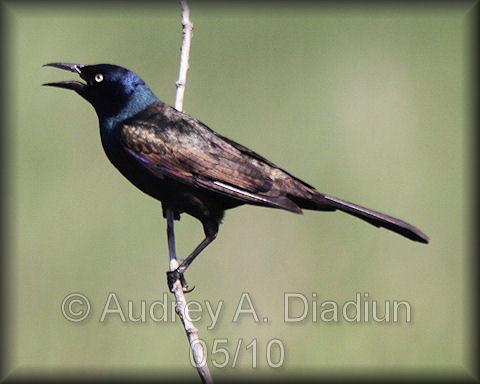 Aad-CommonGrackle-5-30-10-5783