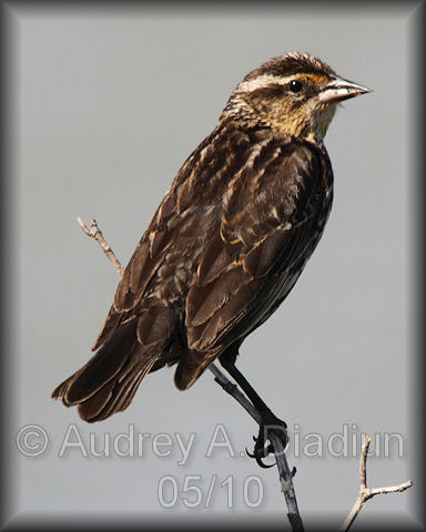 Aad-Red-WingedBlackbird-female-5-30-10-5730