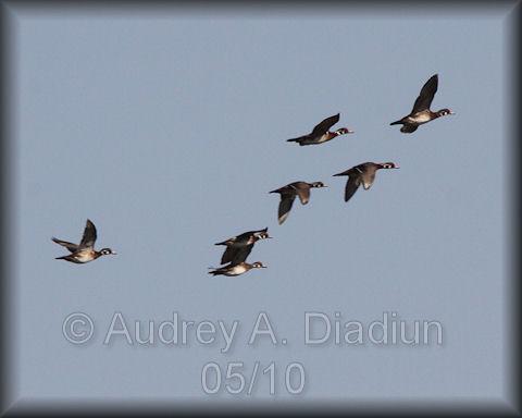 Aad-WoodDuck-5-30-10-5663