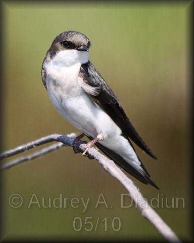Aad-TreeSwallow-5-30-10-5791