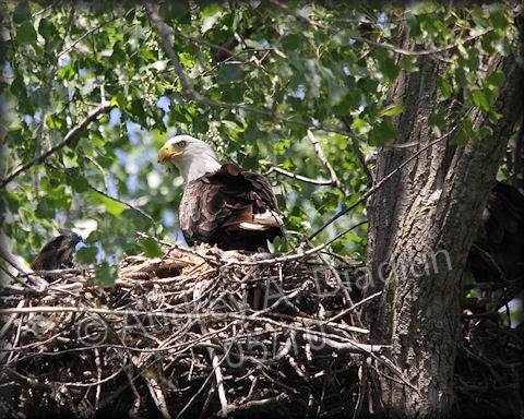 Aad-BaldEagle-nest-5-30-10-5826