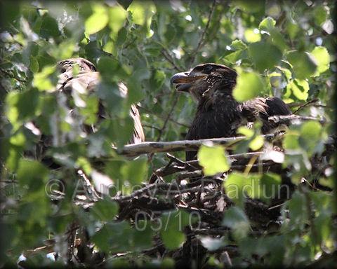 Aad-BaldEagle-eaglets-5-30-10-5866