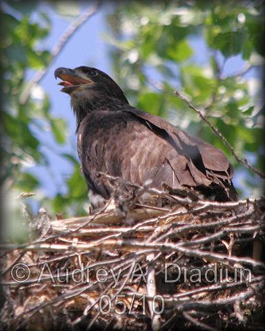 Aad-Eaglet-5-30-10-5881